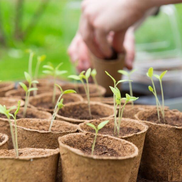 Semințe si material săditor